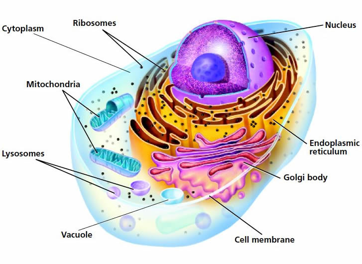 Animal Cell Coloring Page Answers : Animal cell model diagram project parts structure labeled coloring