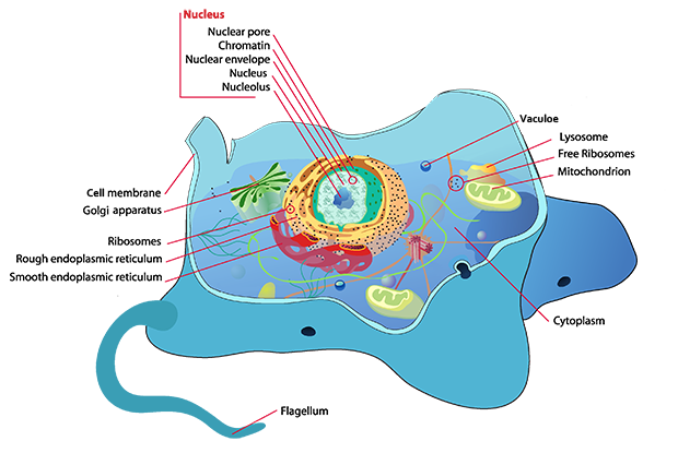 parts of a living cell essay Inside the living cell: how cells obtain energy the inner life of the cell - protein packing visualizing the wonder of a living cell.