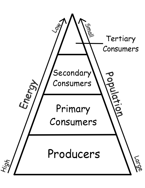 Energy Pyramids Worksheet http://www.stephsnature.com/lifescience/ecologyunit.html