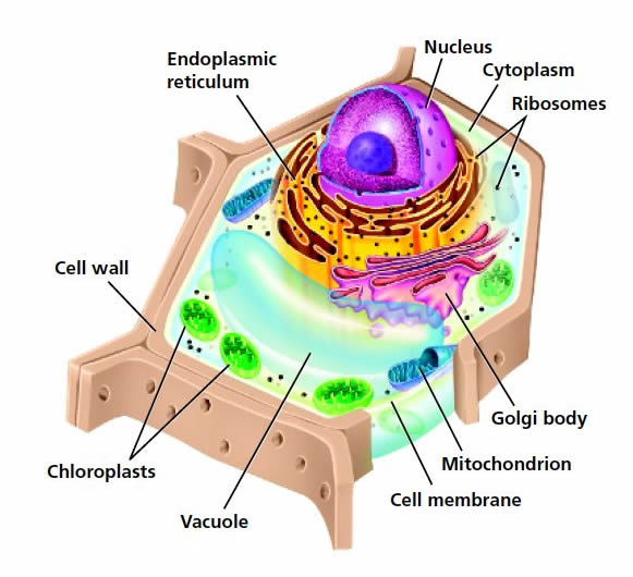 Click on the names of the cell parts to find out what their function,